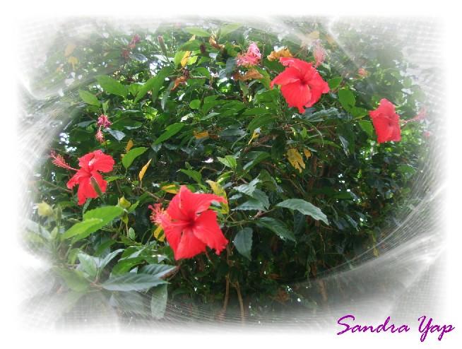 木槿花.JPG